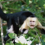 Whiteface Capuchin