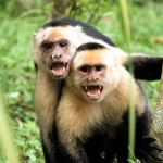 Whiteface Capuchins
